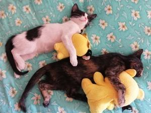 Melez Dişi kedi