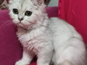 Şeyh Şamil Mah. kedi fiyatları