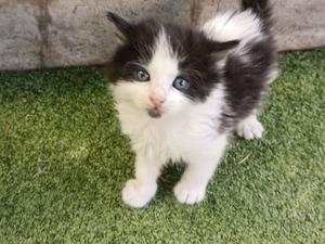 Diğer kedi ırkı kedi Çankaya