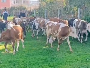 Dededağı Köyü hayvanlar ilanı