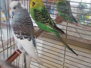 Diğer muhabbet kuşu Dişi ve Erkek Dumlupınar Mah.
