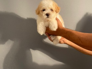 köpek Maltese terrier fiyatları