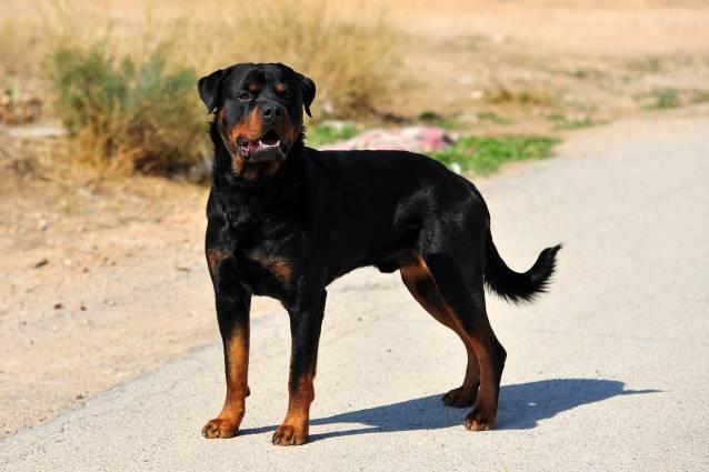 Rottweiler köpek ırkı bilgiler